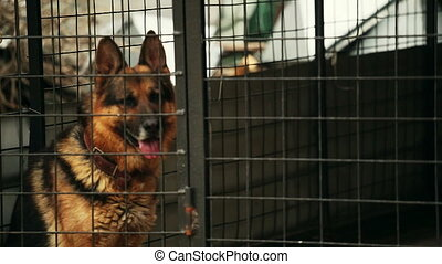 German shepherd dog is sitting in a cage