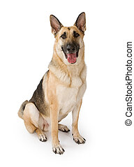 German Shepherd dog sitting down and isolated on white