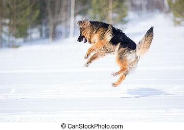 German shepherd dog jumping in snow outdoor - German...