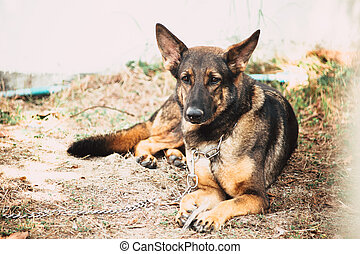 German Shepherd dog K-9 military soldier alsatian dog serious face