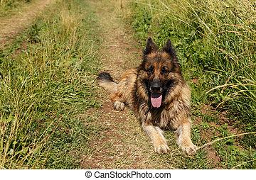 German shepherd dog lies in the grass.