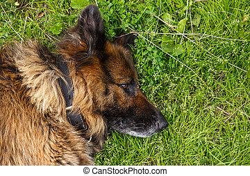 German shepherd dog lies on green grass.