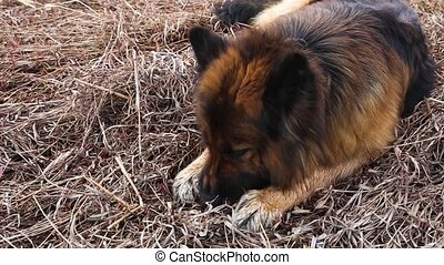 German shepherd dog lies on the grass and nibbles a stick.