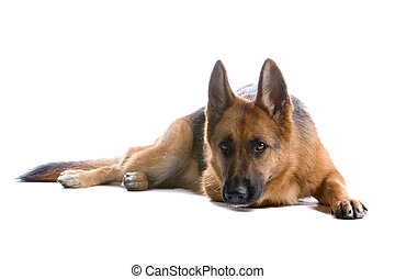 german shepherd dog looking at camera, isolated on a white background