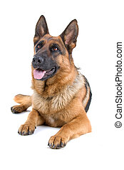 German shepherd dog lying down with the tongue out, isolated on a white background