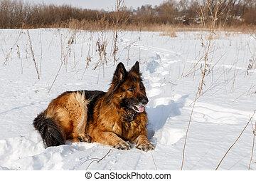 German Shepherd dog lying in the snow