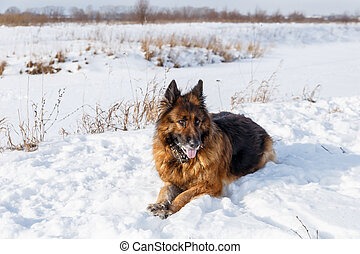 German Shepherd dog lying in the snow