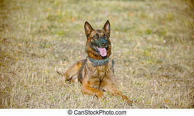 German shepherd dog lying on the field with a tongue out