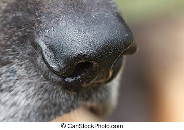German Shepherd dog nose closeup. macro