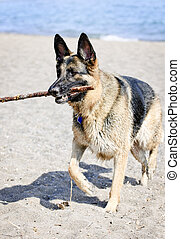 German Shepherd dog on beach - Healthy and active German...