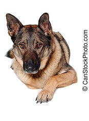 German shepherd dog on white background - German shepherd...