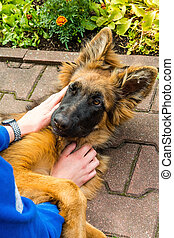 German shepherd dog playing in the garden