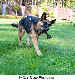 German shepherd dog playing with a stick