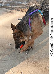 German shepherd dog playing with an orange ball in its mouth. Portrait of a playing purebred dog.