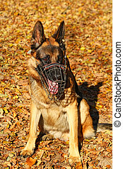 German shepherd dog portrait in autumn