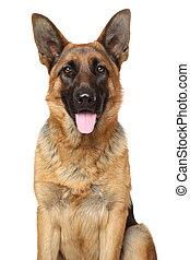 German Shepherd dog. Portrait on white