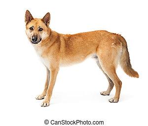 German Shepherd Dog Profile Over White
