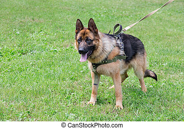 German shepherd dog puppy is standing on a green grass in the sping park. Pet animals.