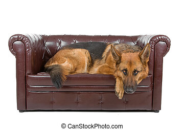 german shepherd dog resting on a couch