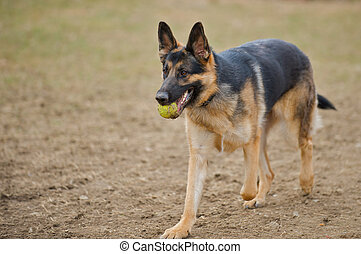 German Shepherd dog retrieving a tennis ball for his master.