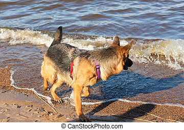 German shepherd dog running along the sea playing with waves..