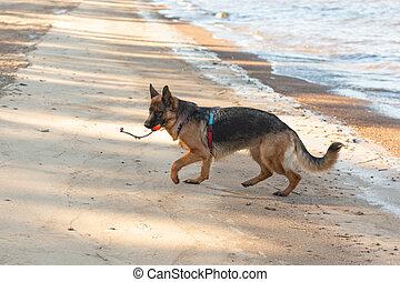 German shepherd dog running along the sea with an orange ball in its mouth.