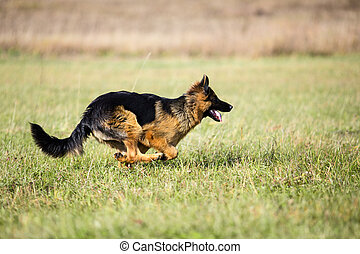 German shepherd dog running fast outdoor