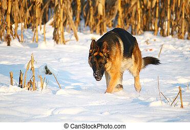German shepherd dog running in snow
