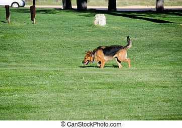 German shepherd dog running on a meadow