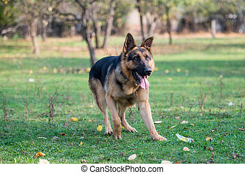 German Shepherd Dog Running
