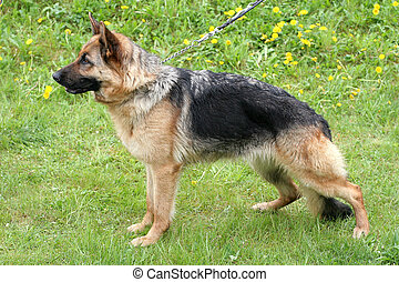 German Shepherd Dog Short-haired in a garden