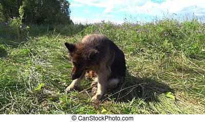 German shepherd dog sits on the grass and itches. The dog ...