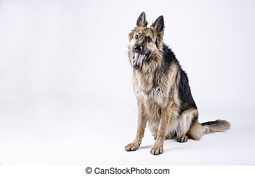 german shepherd dog sitting on a white background