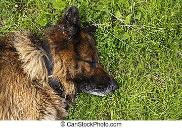German shepherd dog sleeping on the grass.
