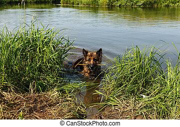 German shepherd dog stands in the river