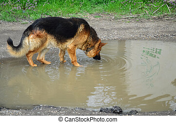 German shepherd dog stay in a mud puddle and drink dirty water