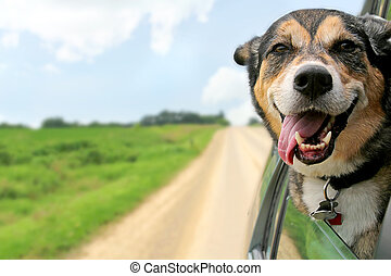 German Shepherd Dog Sticking Head Out Driving Car Window - A...