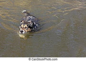 German Shepherd Dog Swimming in Lake - A cute German...