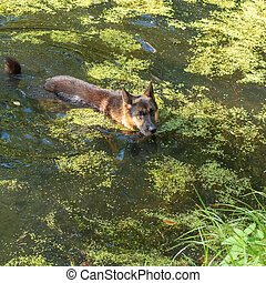German shepherd dog swims in the pond