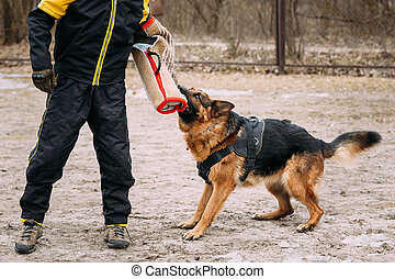 German Shepherd Dog training. Biting dog. - German shepherd...