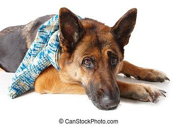 German shepherd dog wearing scarf