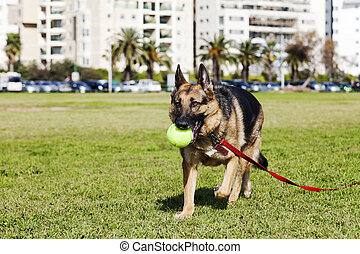 German Shepherd Dog with Tennis Ball at the Park