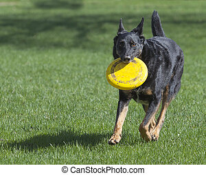 German Shepherd Dog with Yellow Frisbee Running in the Grass...