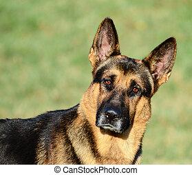 German Shepherd funny portrait