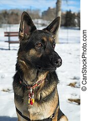 German shepherd dog from front an side profile.