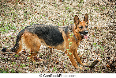 German Shepherd - German shepherd running around on the ...
