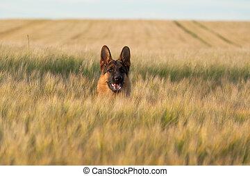 German Shepherd - German shepherd running in the wheat