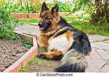 german shepherd in a garden