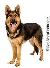 German Shepherd in front, isolated on white background, ...