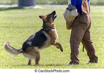 German Shepherd in K-9 police training.